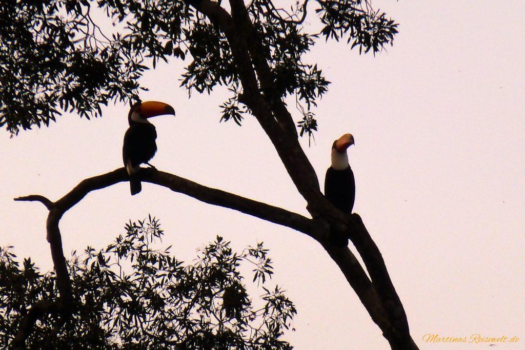 die Tucane warten auf den Sonnenuntergang