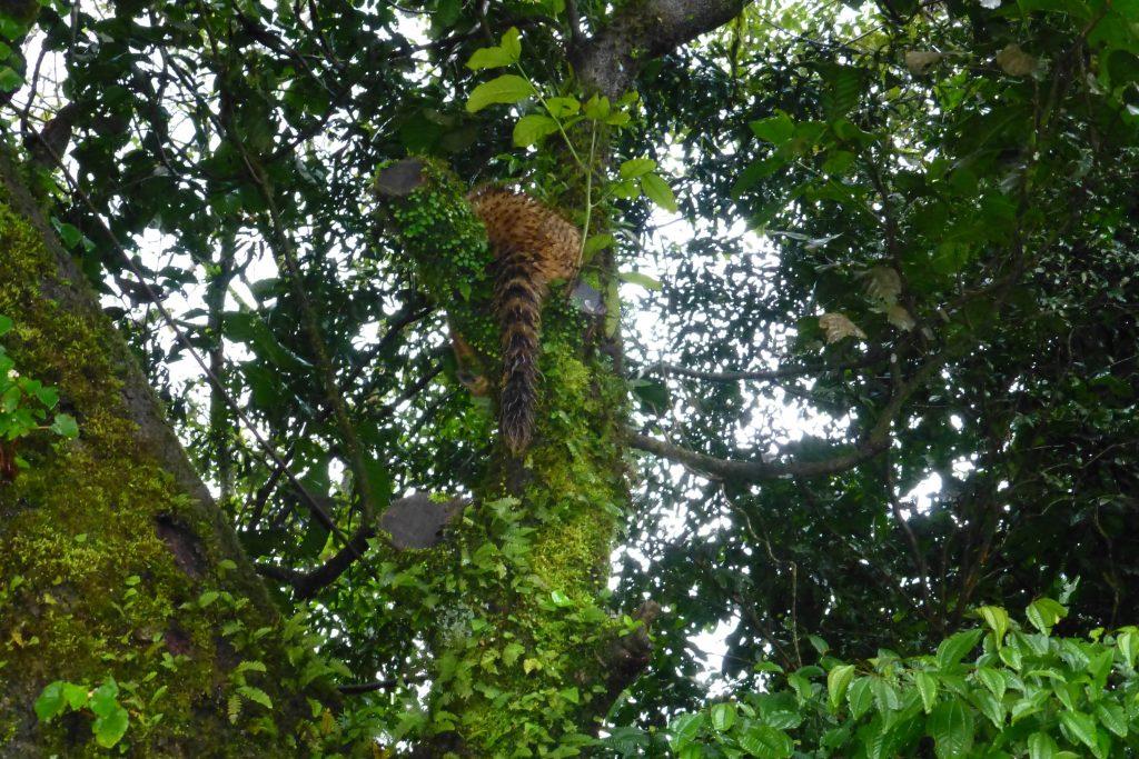 Nasenbär im Baum