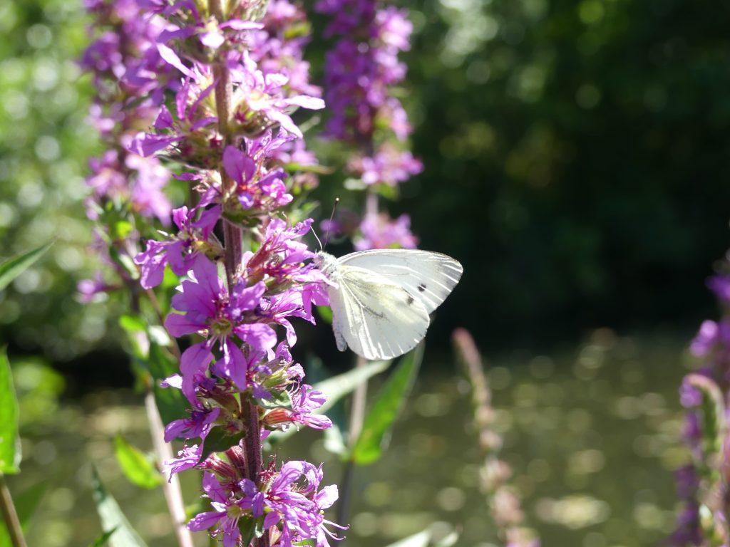 De Wittsee, Blumen mit Schmetterling am Wegesrand
