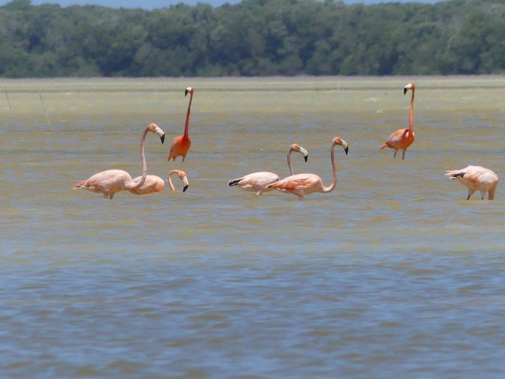 Flamingos in der Lagune von Celestun
