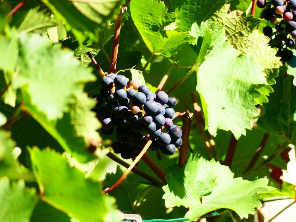 Ahrweiler, zuckersüße Weintrauben auf dem Weinberg