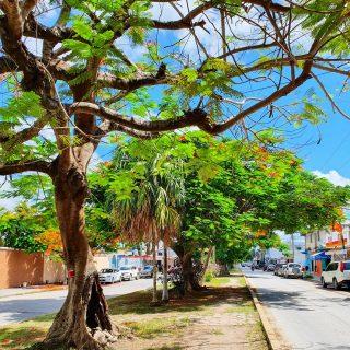 Spaziergang durch den Ort Bonfil. Hier wachsen wunderschöne Bäume an den Straßen. Wir sind bis zur Kirche gelaufen, dort ist heute auch ein Flohmarkt. . . . #mexiko #mexikoreise #mexico #baum #tree #arbol #entdecken #erleben #erkunden #reiseblog #martinasreisewelt