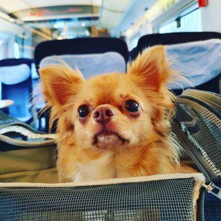 Die Reise geht los und Sammy ist wieder dabei. Auf nach Frankfurt. 😍😍😍 . . . #chihuahuasofinstagram #chihuahua #chihuahualove #deutschebahn #fraport #werbungdurchnamensnennung