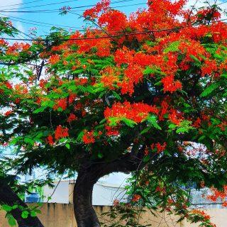 Flamboyant Baum in voller Blüte in Bonfil.  Flammenbaum wird er auch genannt. Woher der Name kommt, kann man gut an den leuchtend orange-roten Blüten erkennen.😍😍😍 . . . #alfredovbonfil #quintanaroomexico #quintanaroo  #cancun #cancunmexico #flamboyant #naturfotografie #vegetation #flowersofinstagram  #flowers #flowerpower #mexiko #mexikoreise #martinasreisewelt